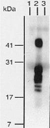 Immunoprecipitation - Biotin Anti-HBEGF/DTR antibody [4G10] (ab66793)