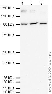 Western blot - Anti-PSGL-1 antibody (ab66882)