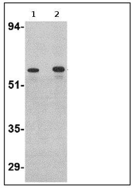 Western blot - Anti-Plxdc2 antibody (ab67226)