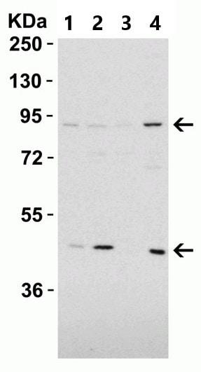Western blot - Anti-TEM1 antibody (ab67273)
