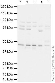 Western blot - Anti-Kindlin-1 antibody (ab68041)