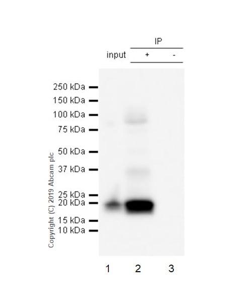 Immunoprecipitation - Anti-CD3 zeta (phospho Y142) antibody [EP265(2)Y] (ab68235)