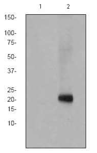 Western blot - Anti-CD3 zeta (phospho Y142) antibody [EP265(2)Y] (ab68235)
