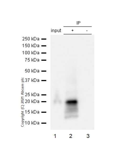 Immunoprecipitation - Anti-CD3 zeta (phospho Y83) antibody [EP776(2)Y] (ab68236)