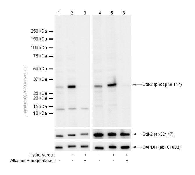 Western blot - Anti-CDK2 (phospho T14) antibody [EP2234Y] (ab68265)