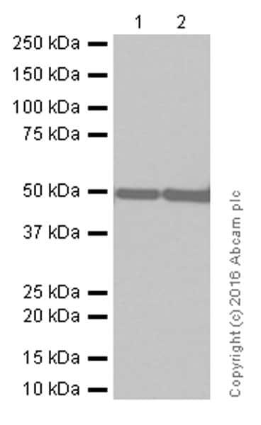 Western blot - Anti-GFAP antibody [EPR1034Y] (ab68428)