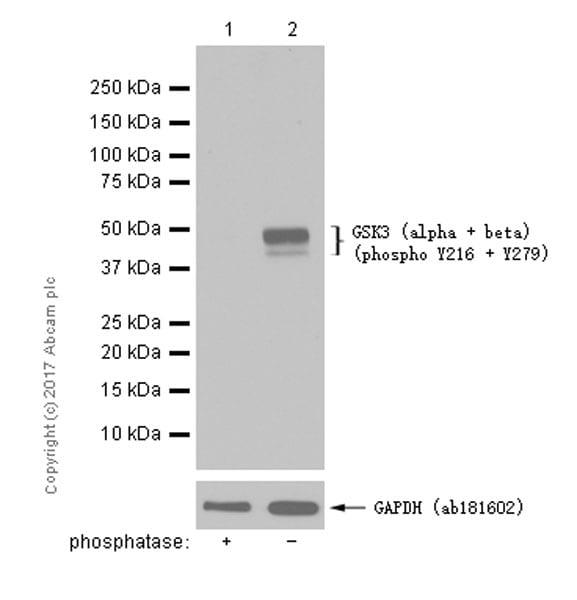 Western blot - Anti-GSK3 (alpha + beta) (phospho Y216 + Y279) antibody [EPR933Y] (ab68476)