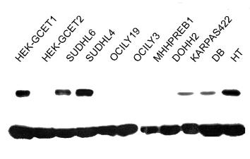 Western blot - Anti-GCET1 antibody [RAM341] (ab68889)
