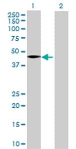Western blot - Anti-WSB1 antibody (ab68953)