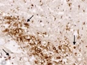 Immunohistochemistry (Frozen sections) - Anti-Ferritin Light Chain antibody (ab69090)
