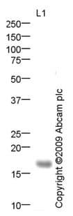 Western blot - Anti-KCNE2 antibody (ab69376)