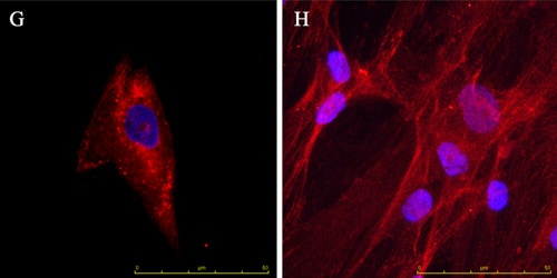 Immunocytochemistry/ Immunofluorescence - Anti-Osteopontin antibody [53] (ab69498)