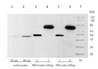 Western blot - Anti-MEK1 + MEK2 antibody [3D9] (ab69502)