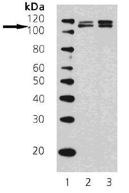 Western blot - Anti-KDM1 / LSD1 antibody [1B2F2] (ab69535)