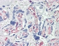 Immunohistochemistry (Formalin/PFA-fixed paraffin-embedded sections) - Anti-Caspase-7 antibody [7-1-11] (ab69540)