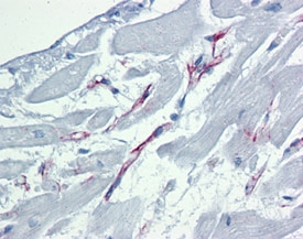 Immunohistochemistry (Formalin/PFA-fixed paraffin-embedded sections) - Anti-Caspase-9 antibody [2-22] (ab69541)