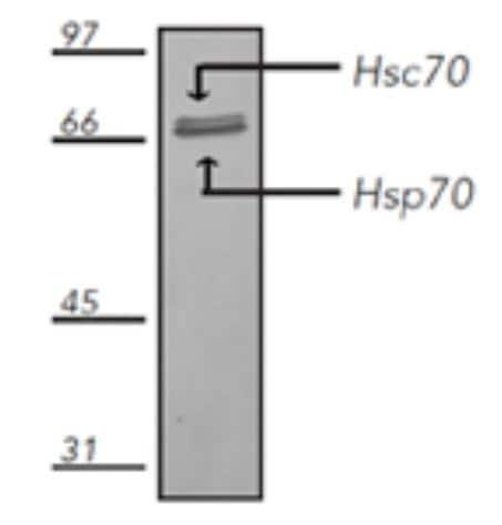 Western blot - Anti-Hsp70 antibody [N27F34] (Alkaline Phosphatase) (ab69561)