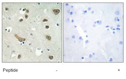Immunohistochemistry (Formalin/PFA-fixed paraffin-embedded sections) - Anti-14-3-3 gamma antibody (ab69592)