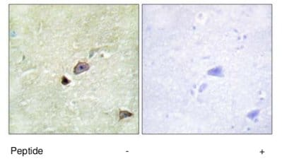 Immunohistochemistry (Formalin/PFA-fixed paraffin-embedded sections) - Anti-TRIM59 antibody (ab69639)
