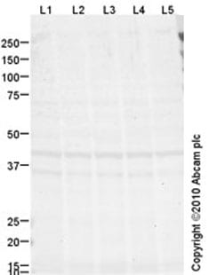 Western blot - Anti-Crk p38 antibody [mAbcam69723] (ab69723)