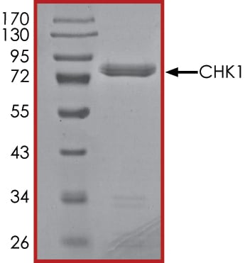 SDS-PAGE - Recombinant human Chk1 protein (ab69918)
