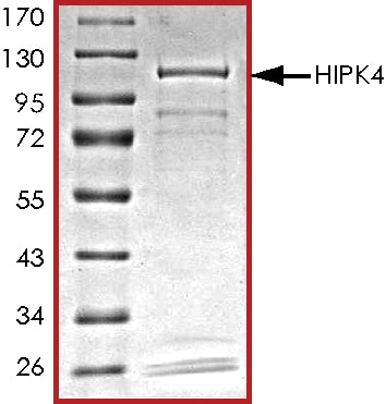 SDS-PAGE - Recombinant human HIPK4 protein (ab69925)