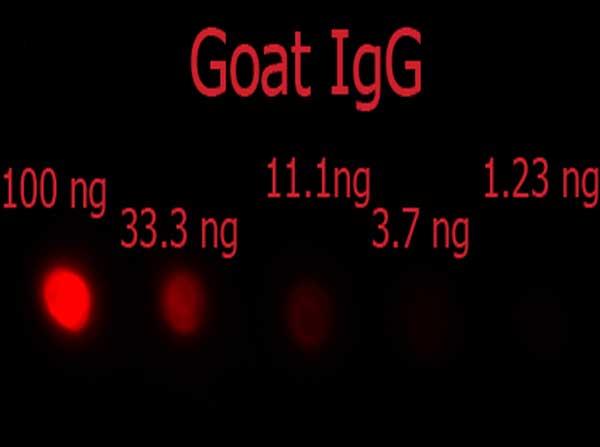 Dot Blot - Donkey Anti-Goat IgG H&L (Phycoerythrin) preadsorbed (ab7004)