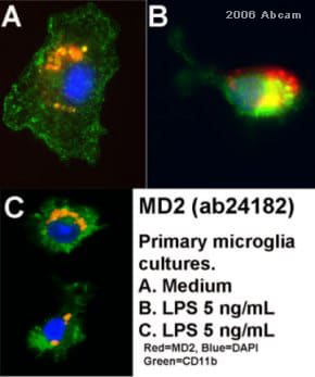 Immunocytochemistry/ Immunofluorescence - Donkey F(ab')2 Anti-Rabbit IgG H&L (PE) preadsorbed (ab7007)