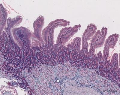 Immunohistochemistry (Frozen sections) - Anti-MIF antibody (ab7207)