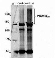 Western blot - Anti-Ubiquitin antibody [Ubi-1] (ab7254)