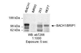 Western blot - Anti-BACH1/BRIP1 antibody (ab7288)