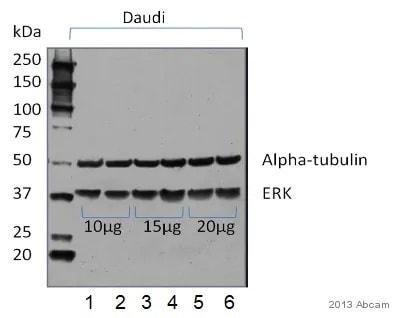 Western blot - Anti-alpha Tubulin antibody [DM1A] - Loading Control (ab7291)