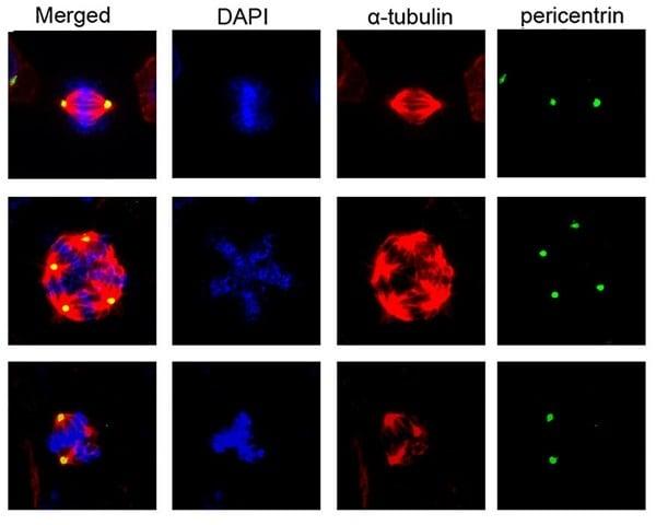 Immunocytochemistry/ Immunofluorescence - Anti-alpha Tubulin antibody [DM1A] - Loading Control (ab7291)