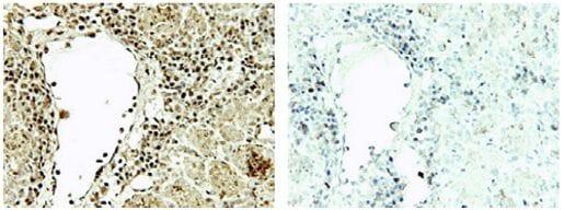 Immunohistochemistry (Formalin/PFA-fixed paraffin-embedded sections) - Anti-Spermidine antibody (ab7318)
