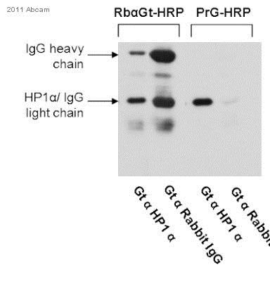 Western blot - Recombinant Protein G (HRP) (ab7460)