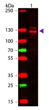 Western blot - Native Human Collagen I protein (ab7533)