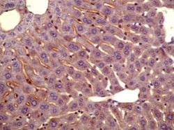 Immunohistochemistry (Formalin/PFA-fixed paraffin-embedded sections) - Anti-Apolipoprotein A I antibody (ab7614)