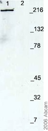 Western blot - Anti-Nestin antibody - Neural Stem Cell Marker (ab7659)