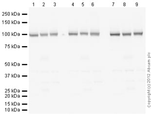 Western blot - Anti-alpha 1 Sodium Potassium ATPase antibody [464.6] (ab7671)