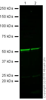 Western blot - Anti-beta III Tubulin antibody [TU-20] - Neuronal Marker (ab7751)