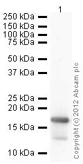Western blot - Anti-Histone H3 (di methyl K4) antibody - ChIP Grade (ab7766)
