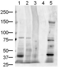 Western blot - Anti-Jagged1 antibody (ab7771)