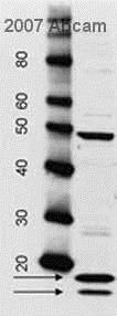 Western blot - Anti-Histone Core antibody (ab7832)