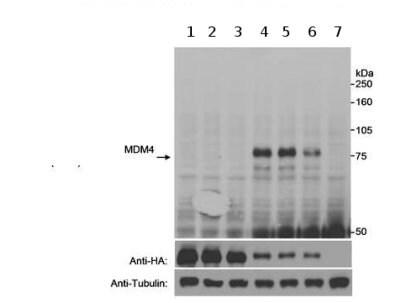 Western blot - Anti-MDMX/MDM4 (phospho S403) antibody (ab70236)