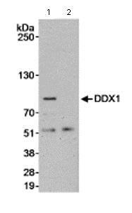 Immunoprecipitation - Anti-DDX1 antibody (ab70252)
