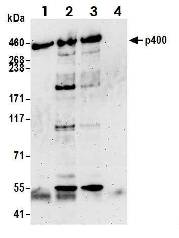 Immunoprecipitation - Anti-p400 antibody (ab70301)