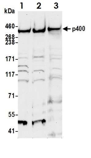 Western blot - Anti-p400 antibody (ab70301)
