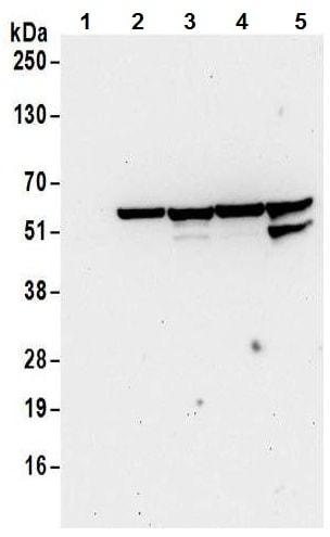 Western blot - Anti-nmt55 / p54nrb antibody (ab70335)