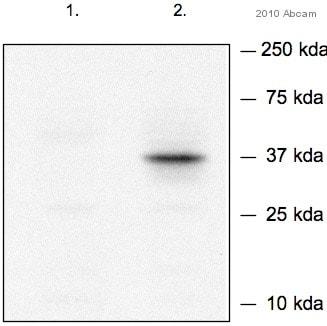 Western blot - Anti-Nanog antibody (ab70482)