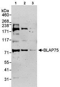 Western blot - Anti-BLAP75 antibody (ab70525)